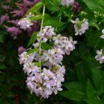 Campanula lactiflora Loddon Anna