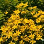 Coreopsis verticilata Grandiflora