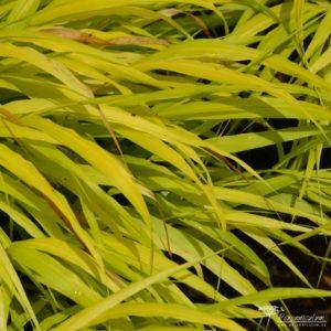 Hakonechloa macra All Gold