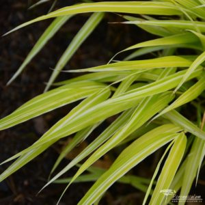 Hakonechloa macra Stripe it Rich