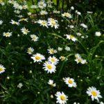 Leucanthemum Gruppenstolz