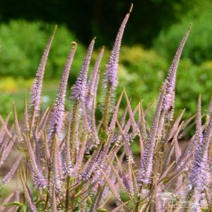 Veronicastrum virginicum Adoration