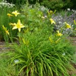 Hemerocallis Atlas