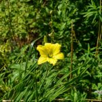 Hemerocallis Green Flutter