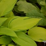 Hosta Junes Fever