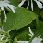 Hosta plantaginea var. grandiflora