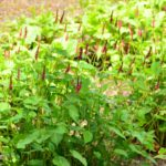 Persicaria amplexicaulis Heutinck