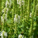 Salvia nemorosa Schneehügel