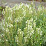 Salvia nemorosa Schneehugel