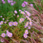 Aster ericoides Pink Star