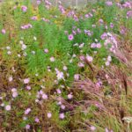 Aster ericoides Pink Star