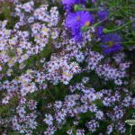 Aster lateriflorus Coombe Fishacre