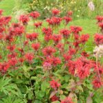 Monarda Cambridge Scarlet
