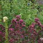 Phlox paniculata Natural Feelings