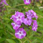 Phlox paniculata Uspech