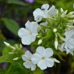 Phlox paniculata White Admiral