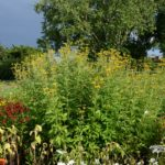 Rudbeckia-subtomentosa-Henry-Eilers