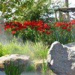 Tulipa Apeldoorn
