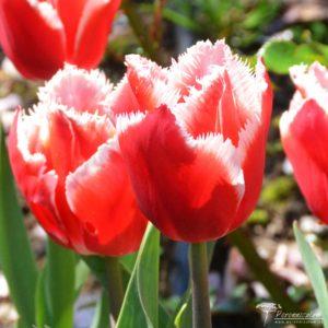 Tulipa Canasta