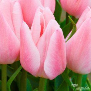 Tulipa Chritmas Pearl