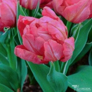 Tulipa Flashpoint