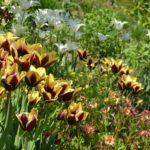 Tulipa Gavota