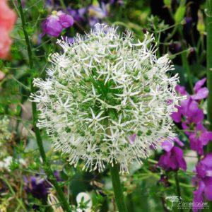 Allium Mount Everest