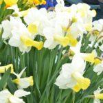 Narcissus Ara