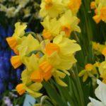 Narcissus Bittern