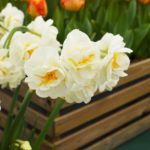 Narcissus Cheerfulness