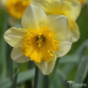 Narcissus Curly
