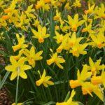 Narcissus Itzim