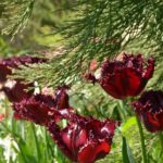 Tulipa Labrador