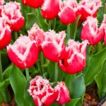 Tulipa New Santa