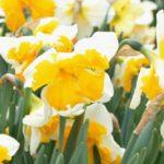 Narcissus Orangery