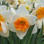 Narcissus Virginia Sunrise