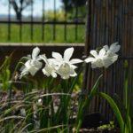 Narcissus Thalia
