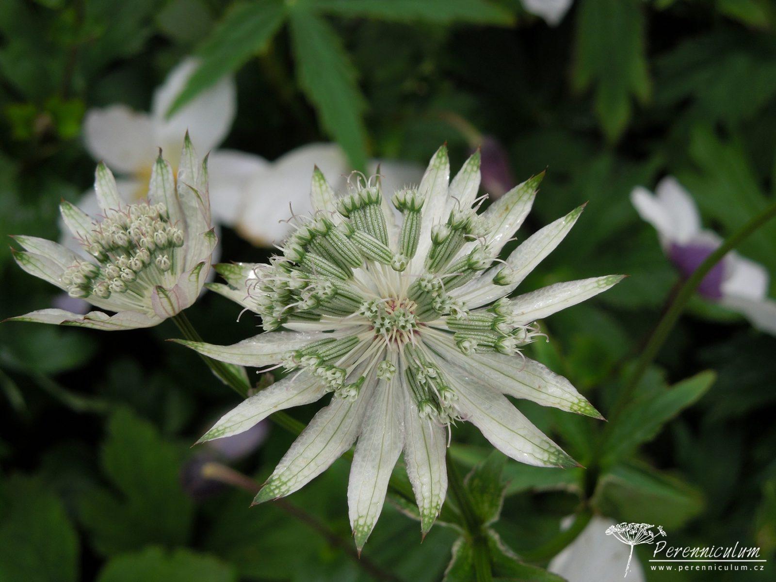 Velké bílé listeny se zelenými špičkami jsou stále nápadné, i když už rostlina začíná tvořit semena. Bíle kvetoucí <em>Astrantia</em> 'White Giant'.