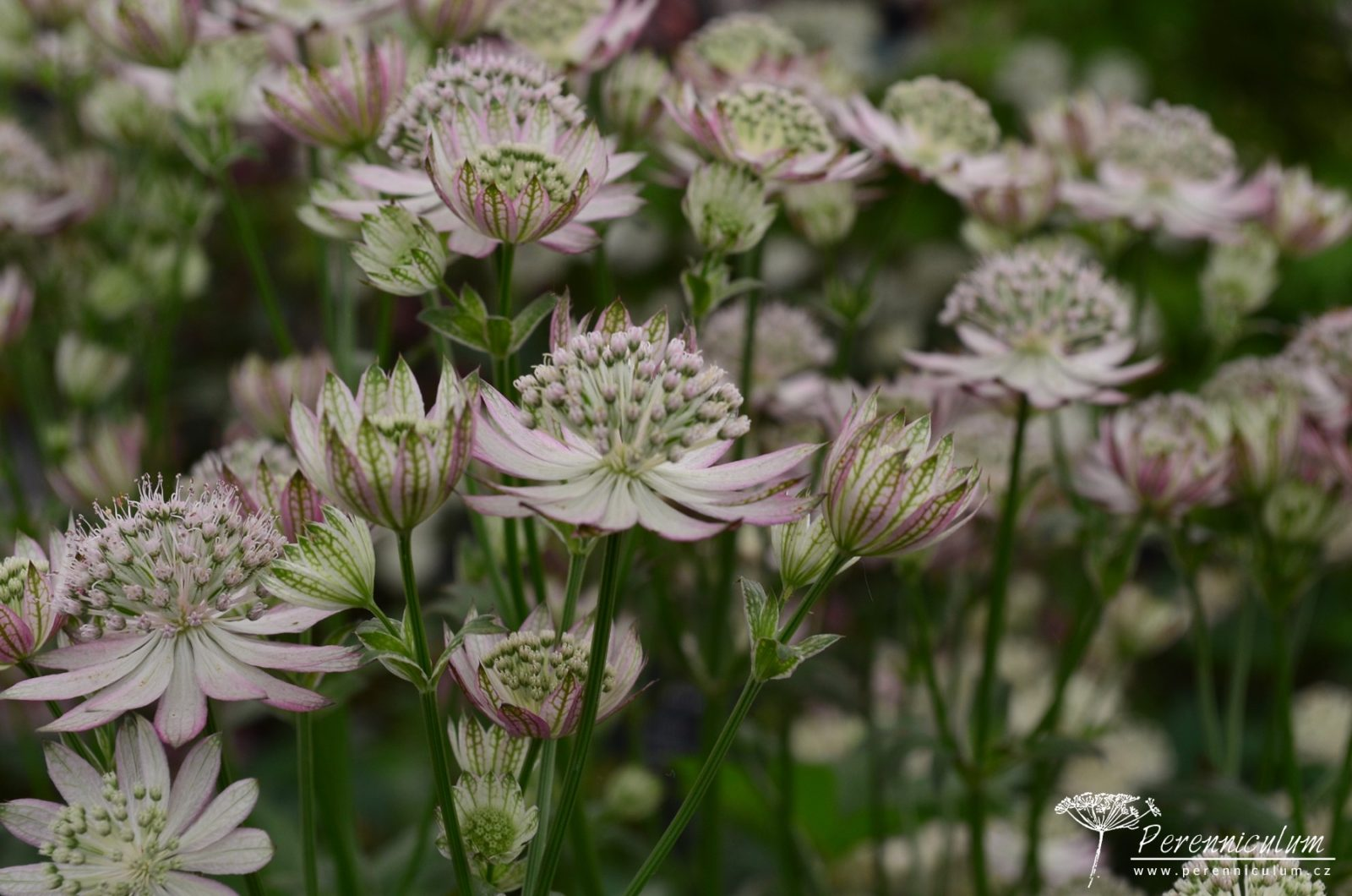 <em>Astrantia major</em> var.  <em>rosea</em> kvete světle růžově.