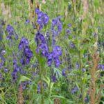 Aconitum napellus Newry Blue