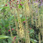 Actaea cordifolia