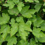 Actea cordifolia