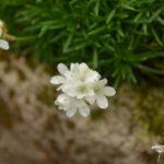 Armeria juniperfolia Alba