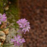 Armeria juniperifolia Bevans Variety