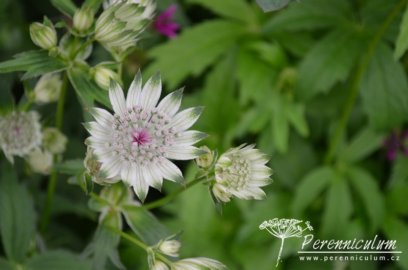 <em>Astrantia major</em> subsp. <em>involucrata</em>'Shaggy'