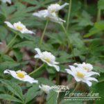 Anemone nemorosa Knightshayes Vestal