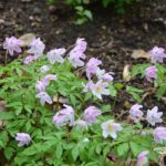 Anemone nemorosa Pink from Wisley