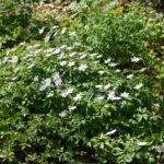 Anemone nemorosa Robinsoniana