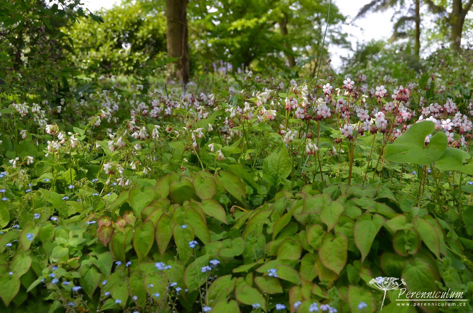 Zdálky to vypadá jako jednotný porost, při bližším prozkoumání zahrnuje spoustu druhů: škornice (Epimedium), kakost (Geranium macrorrhizum) či kostival (Symphytum ibericum).