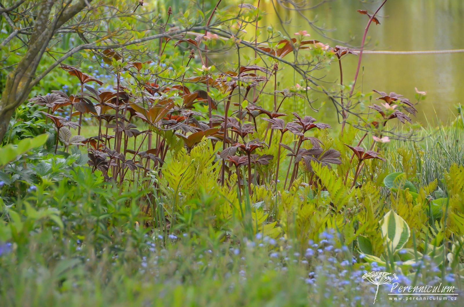 Hnědě rašící listy rodgersie působí exoticky mezi čerstvou pobřežní zelení.